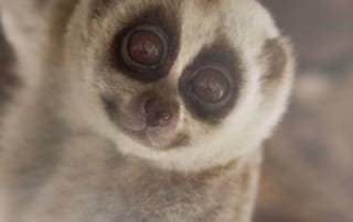 Image ©PETER YUEN help animals Meet Pey the Slow loris slow loris 400x400 1 320x202