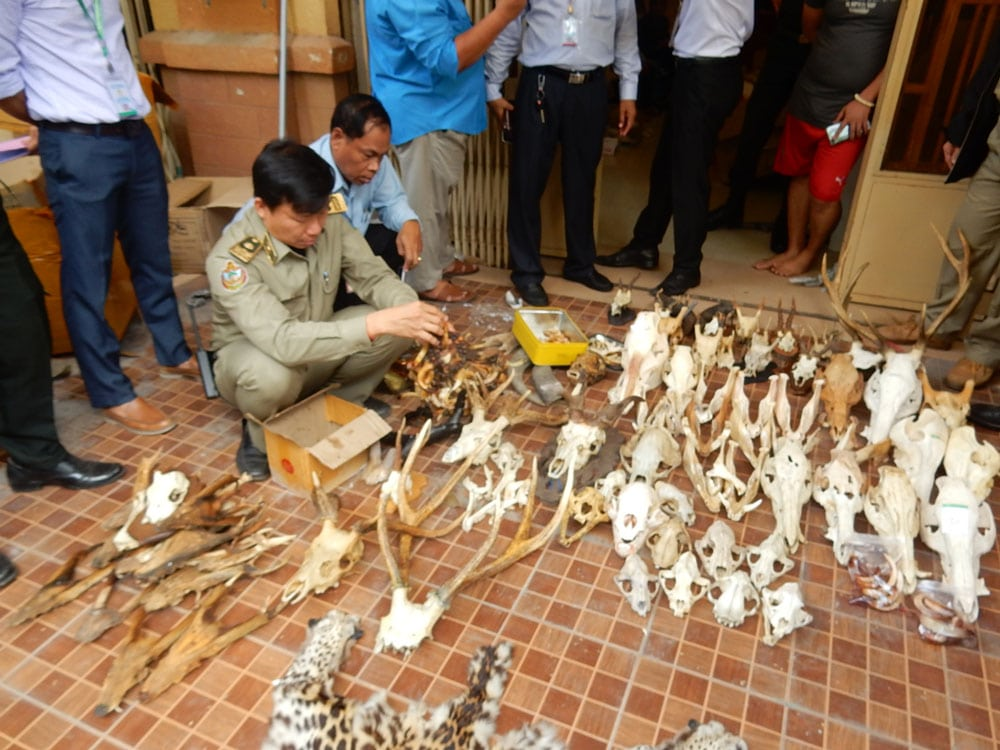 wildlife trafficking cambodia Wildlife Traffickers Arrested – Stockpile included clouded leopard skin, bear paw & ivory 7 kilograms of wildlife products seized by WRRT