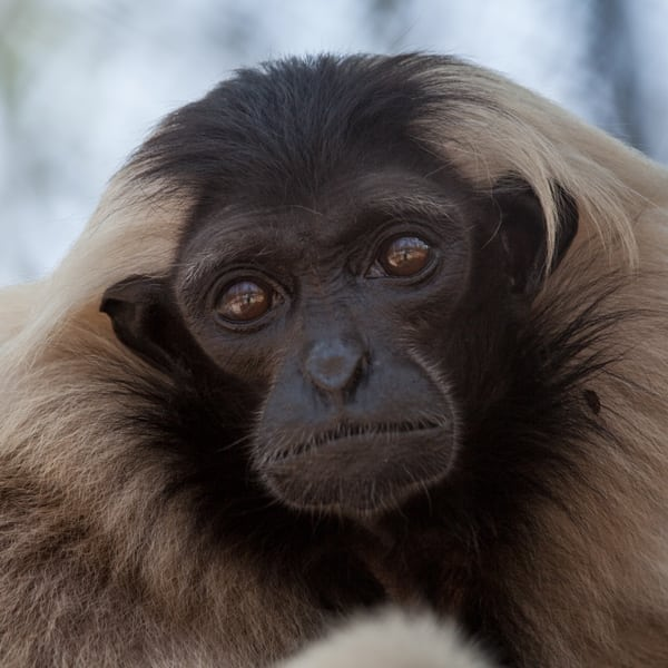 endangered species day What are you doing this Endangered Species Day? Endangered species day Gibbon