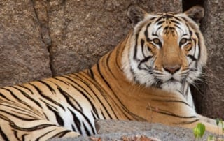 endangered species day What are you doing this Endangered Species Day? Endangered species day Tiger 320x202