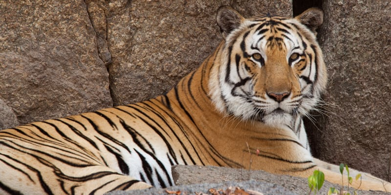 endangered species day What are you doing this Endangered Species Day? Endangered species day Tiger