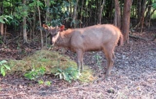 wildlife release A Trio of Rescued Sambar Deer are Prepared for a New Life in the Wild Sambar deer with ear tag radio collar release 320x202 tamao wildlife rescue center Phnom Tamao Wildlife Rescue Center Sambar deer with ear tag radio collar release 320x202