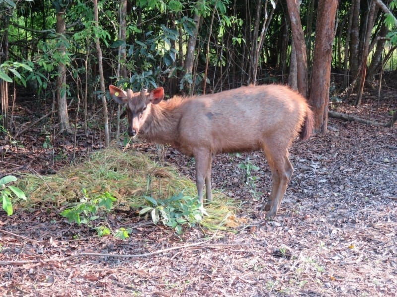 wildlife release A Trio of Rescued Sambar Deer are Prepared for a New Life in the Wild Sambar deer with ear tag radio collar release 800x600