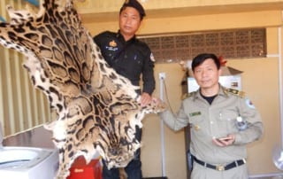wildlife trafficking cambodia Wildlife Traffickers Arrested – Stockpile included clouded leopard skin, bear paw & ivory WRRT confiscate clouded leopard pelt 320x202
