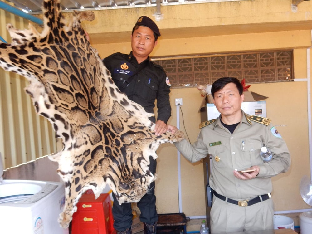 wildlife trafficking cambodia Wildlife Traffickers Arrested – Stockpile included clouded leopard skin, bear paw & ivory WRRT confiscate clouded leopard pelt