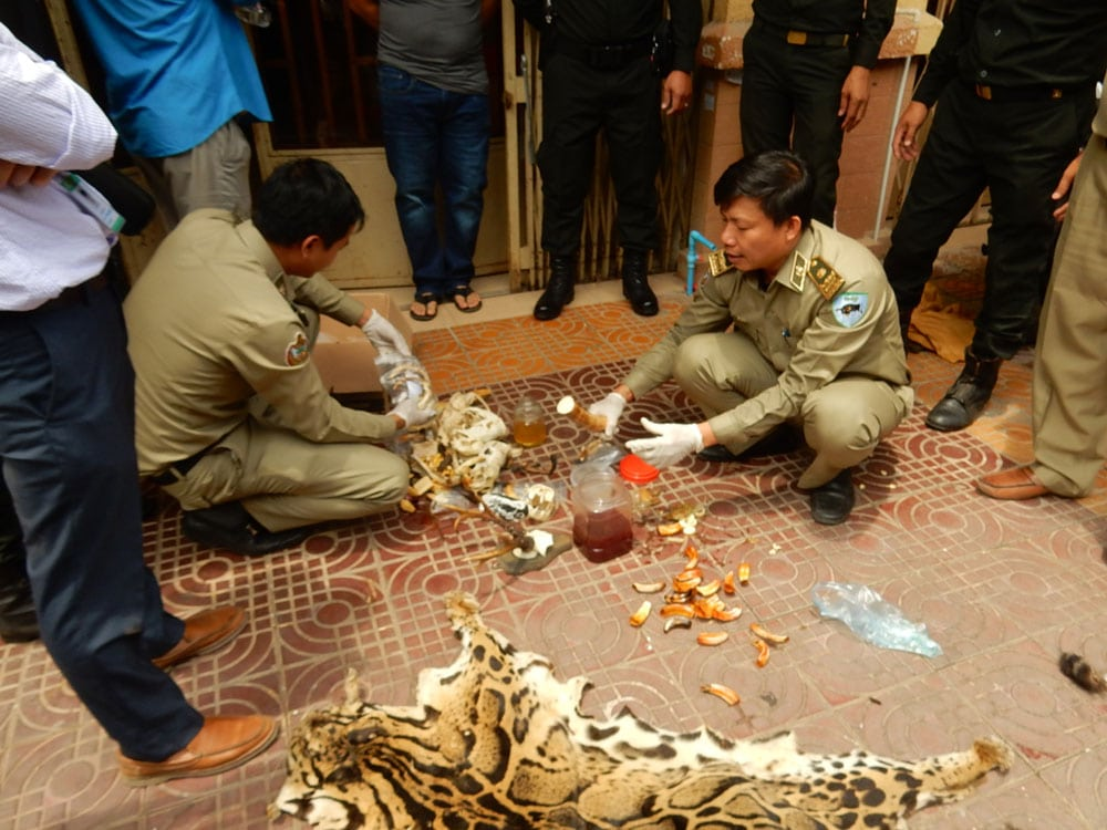 wildlife trafficking cambodia Wildlife Traffickers Arrested – Stockpile included clouded leopard skin, bear paw & ivory WRRT inspect wildlife products
