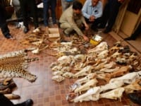 wildlife trafficking cambodia Wildlife Traffickers Arrested – Stockpile included clouded leopard skin, bear paw & ivory WRRT major bust on May 10 2018 200x150