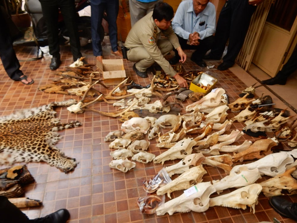wildlife trafficking cambodia Wildlife Traffickers Arrested – Stockpile included clouded leopard skin, bear paw & ivory WRRT major bust on May 10 2018