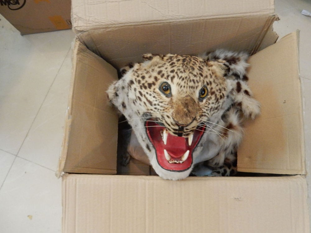 wildlife trafficking cambodia Wildlife Traffickers Arrested – Stockpile included clouded leopard skin, bear paw & ivory leopard pelt confiscated in major bust