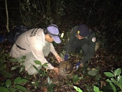 anti-poaching unit saves critically endangered pangolin Anti-Poaching unit saves critically endangered pangolin pangolin release cambodia 400x301