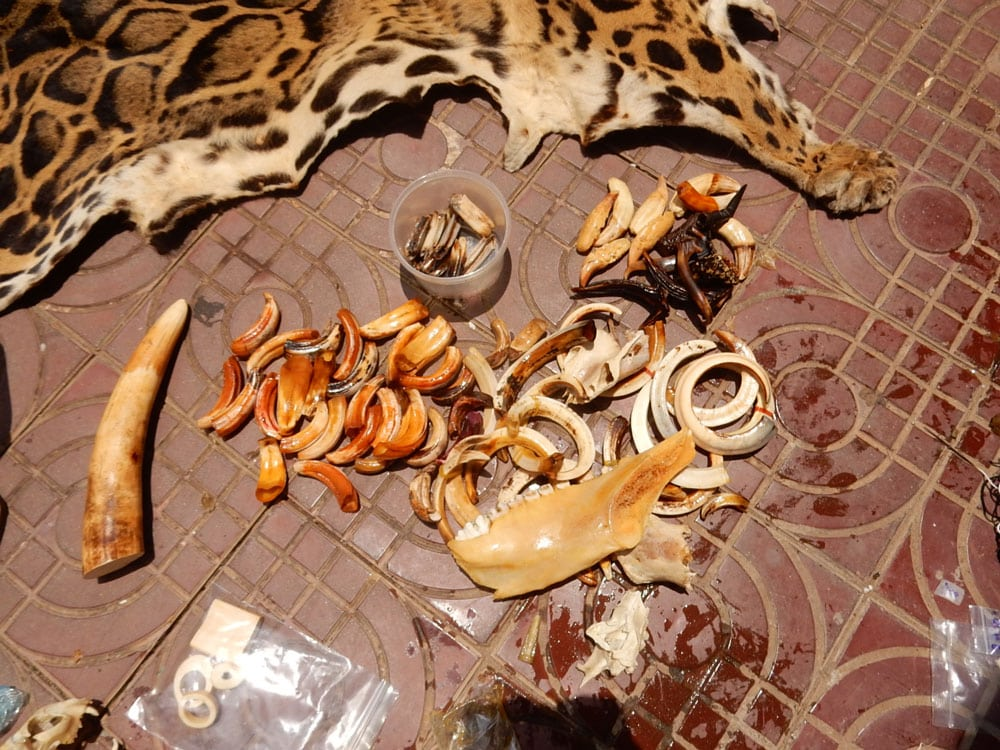 wildlife trafficking cambodia Wildlife Traffickers Arrested – Stockpile included clouded leopard skin, bear paw & ivory wildlife products ivory tusk clouded leopard