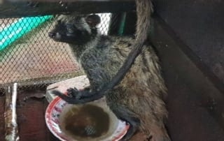 the rangers saved 2 civets from the cruel coffee trade The rangers saved 2 civets from the Cruel Coffee Trade The rangers saved civets from the Cruel Coffee Trade 320x202