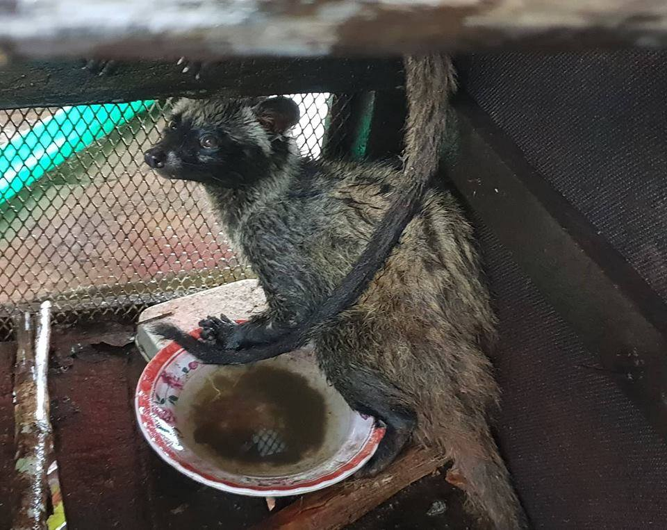the rangers saved 2 civets from the cruel coffee trade The rangers saved 2 civets from the Cruel Coffee Trade The rangers saved civets from the Cruel Coffee Trade