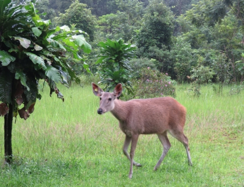 Sambar deer successfully released into the Cardamom Rainforest
