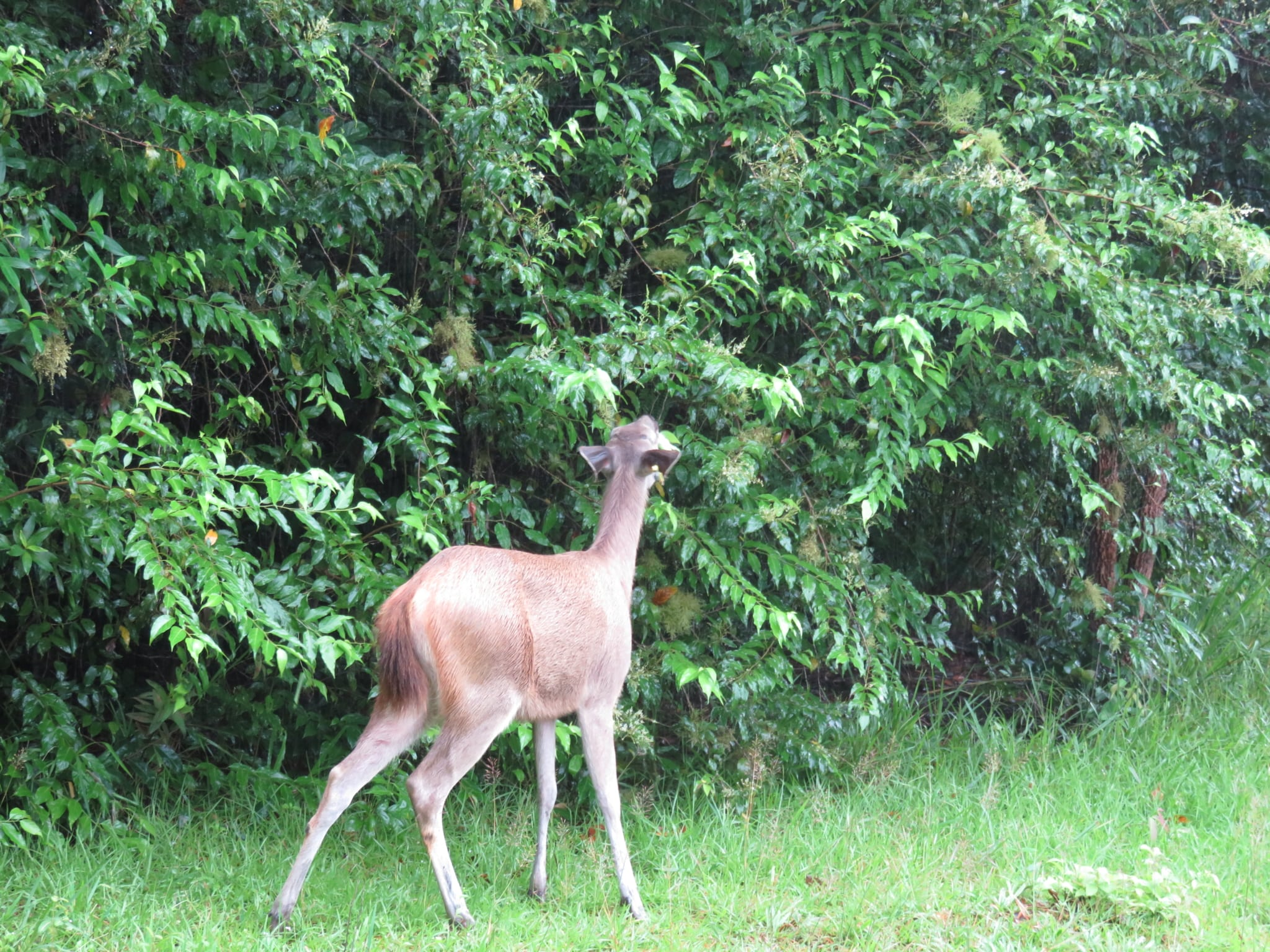 sambar deer successfully released into the cardamom rainforest Sambar deer successfully released into the Cardamom Rainforest 2018