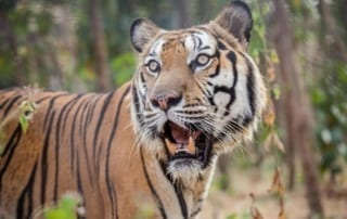 global tiger day 2018 Global Tiger Day 2018 Global Tiger Day 2018 320x202
