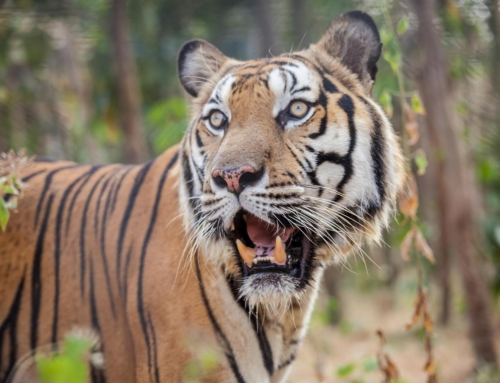 Global Tiger Day 2018