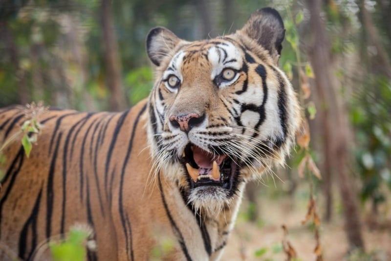 global tiger day 2018 Global Tiger Day 2018 Global Tiger Day 2018 800x533