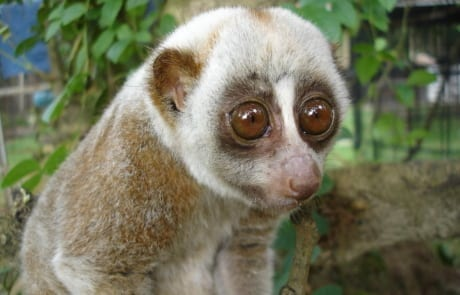 international primate day International Primate Day 2018 Bengal slow loris International Primate Day 2018 460x295