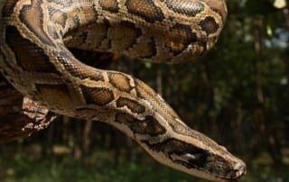 python release Python released back into the wild – VIDEO Burmese Python 320x202