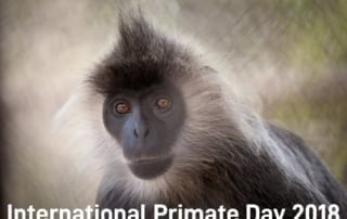 international primate day International Primate Day 2018 International Primate Day 2018 silvered langur 1 320x202