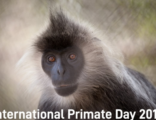 International Primate Day 2018