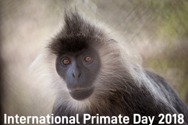 international primate day International Primate Day 2018 International Primate Day 2018 silvered langur 1 800x533