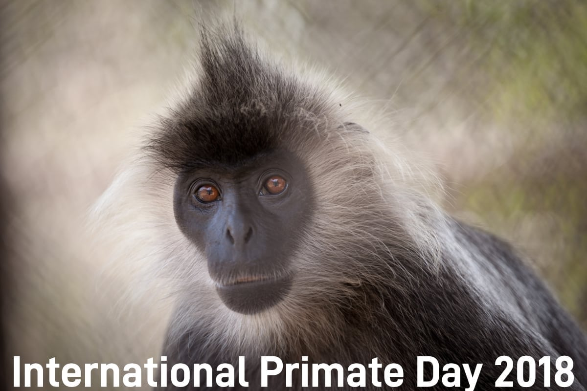 international primate day International Primate Day 2018 International Primate Day 2018 silvered langur 1