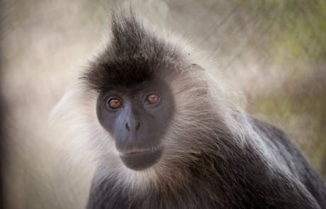 international primate day International Primate Day 2018 International Primate Day 2018 silvered langur 460x295