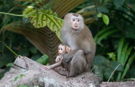 international primate day International Primate Day 2018 Northern pigtail macaque 460x295