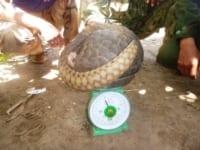 endangered pangolin Critically endangered pangolin saved by Wildlife Alliance rangers Pangolin weight 200x150