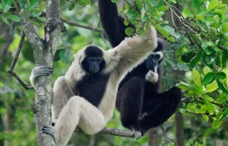international primate day International Primate Day 2018 Pileated gibbon 460x295