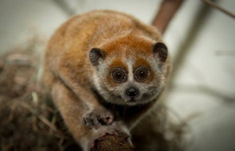 international primate day International Primate Day 2018 Pygmy slow loris International Primate Day 2018 460x295