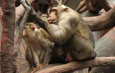 international primate day International Primate Day 2018 Southern pigtail macaque 460x295