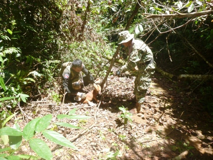 asiatic wild dog Dhole (Asiatic Wild Dog) rescued from a lethal snare The rangers save dole