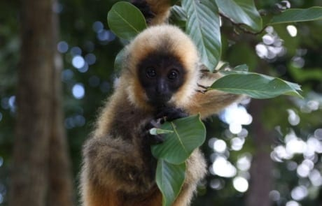 international primate day International Primate Day 2018 Yellow cheeked crested gibbon 460x295