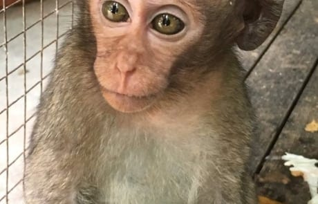 macaque pair rescued from angkor taken to phnom tamao wildlife rescue center Amari and Lori taken to Phnom Tamao Wildlife Rescue Center 2018 09 26 Lori 460x295