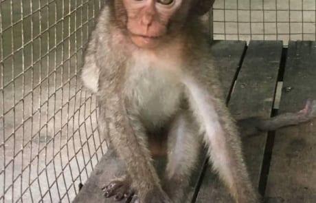 macaque pair rescued from angkor taken to phnom tamao wildlife rescue center Amari and Lori taken to Phnom Tamao Wildlife Rescue Center 2018 10 03 lori in nursery 460x295