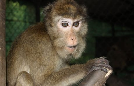 macaque pair rescued from angkor taken to phnom tamao wildlife rescue center Amari and Lori taken to Phnom Tamao Wildlife Rescue Center 2018 10 19 Amari in enclosure b 460x295