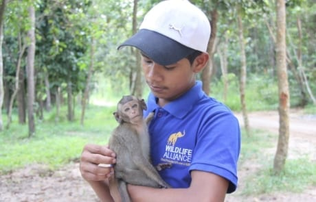 macaque pair rescued from angkor taken to phnom tamao wildlife rescue center Amari and Lori taken to Phnom Tamao Wildlife Rescue Center 2018 10 19 Lori 460x295