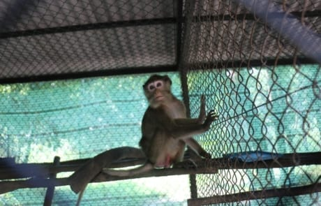 macaque pair rescued from angkor taken to phnom tamao wildlife rescue center Amari and Lori taken to Phnom Tamao Wildlife Rescue Center 2018 11 12 Amari in enclosure 460x295