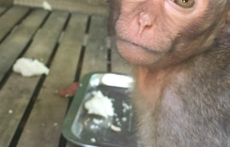 macaque pair rescued from angkor taken to phnom tamao wildlife rescue center Amari and Lori taken to Phnom Tamao Wildlife Rescue Center 2018 11 12 Lori 460x295