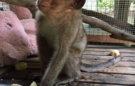 Macaque pair rescued from Angkor taken to Phnom Tamao Wildlife