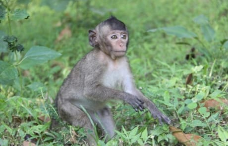 macaque pair rescued from angkor taken to phnom tamao wildlife rescue center Amari and Lori taken to Phnom Tamao Wildlife Rescue Center 2018