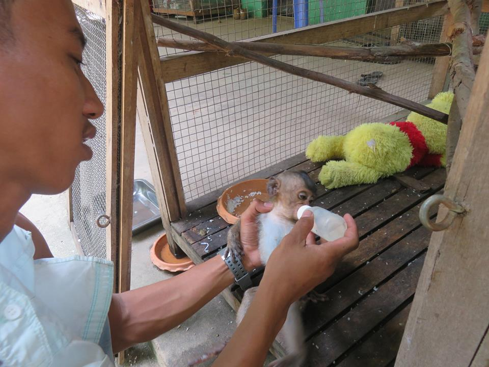 macaque pair rescued from angkor taken to phnom tamao wildlife rescue center Amari and Lori taken to Phnom Tamao Wildlife Rescue Center Amari and Lori Phnom Tamao Cambodia