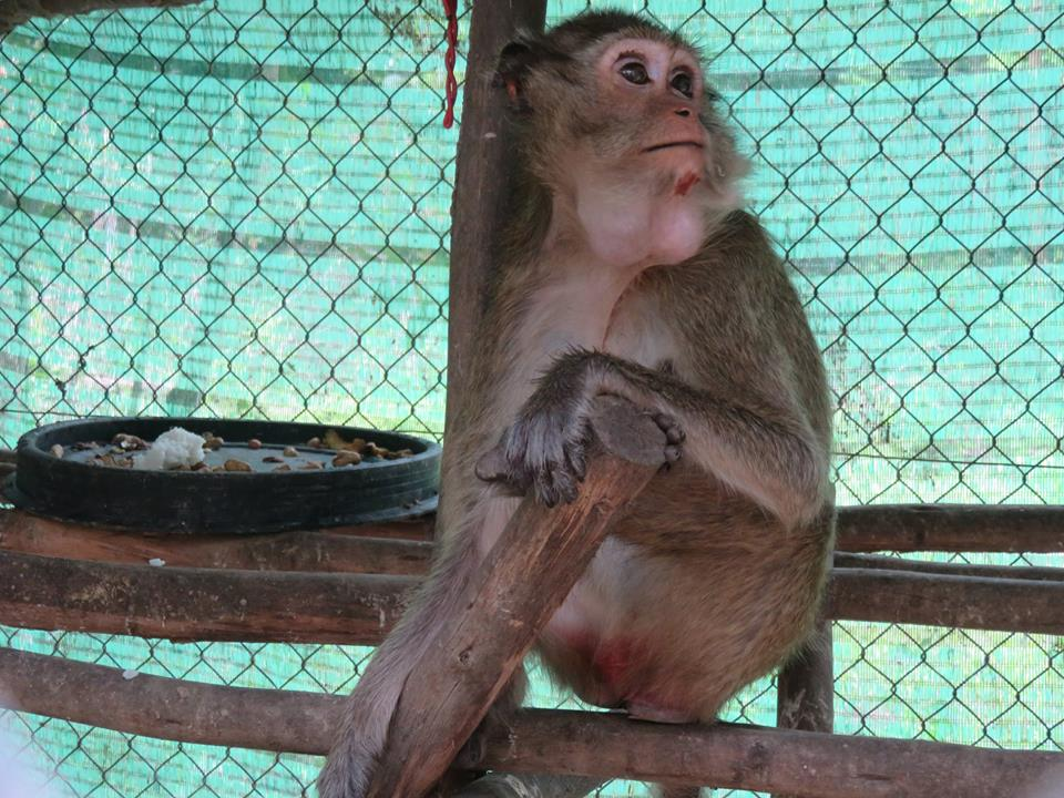 macaque pair rescued from angkor taken to phnom tamao wildlife rescue center Amari and Lori taken to Phnom Tamao Wildlife Rescue Center Amari and Lori Phnom Tamao Willife Rescue Center