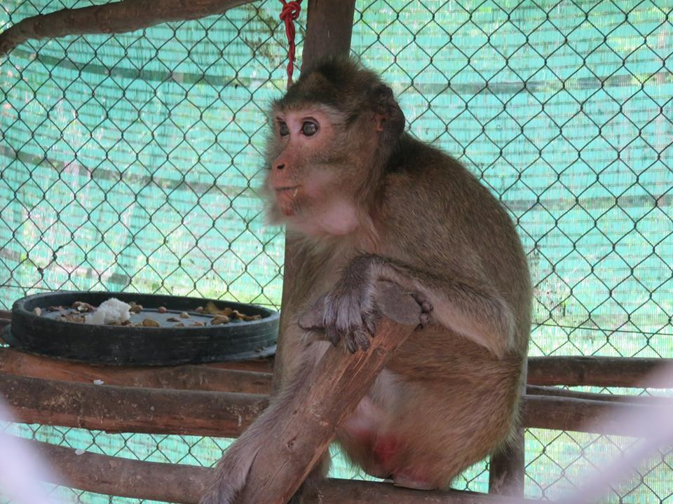macaque pair rescued from angkor taken to phnom tamao wildlife rescue center Amari and Lori taken to Phnom Tamao Wildlife Rescue Center Amari and Lori Phnom Tamao