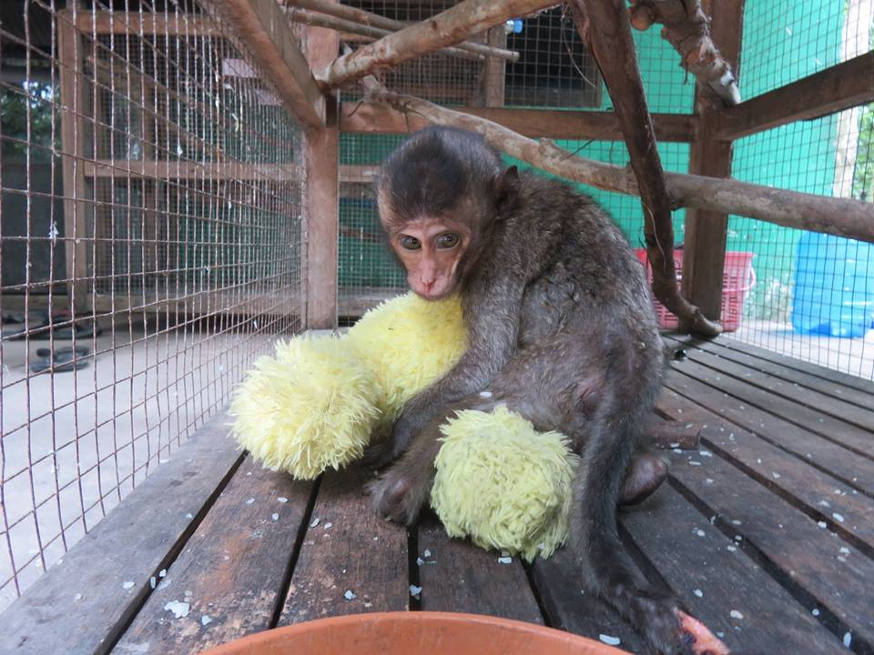 macaque pair rescued from angkor taken to phnom tamao wildlife rescue center Amari and Lori taken to Phnom Tamao Wildlife Rescue Center Amari and Lori Tamao Rescue
