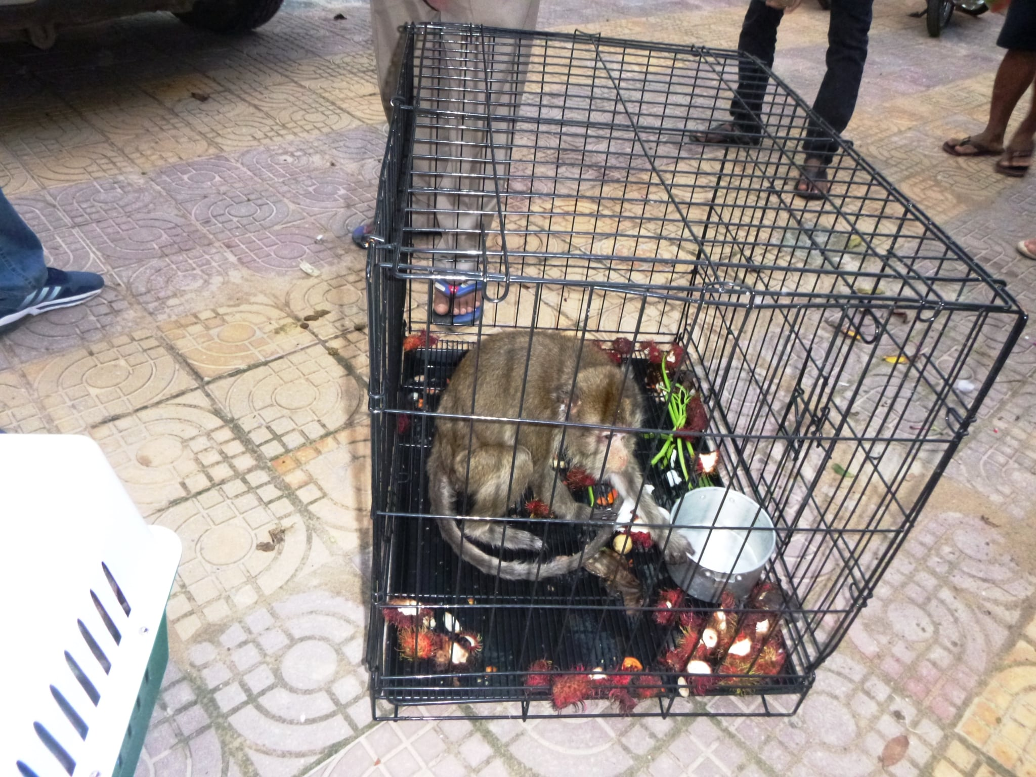 macaque pair rescued from angkor taken to phnom tamao wildlife rescue center Amari and Lori taken to Phnom Tamao Wildlife Rescue Center Amari and Lori Wildlife Rapid Rescue Team 1