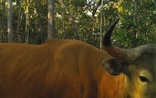 banteng World's largest population of Banteng Banteng video camera trap 320x202 thomas gray Dr. Tom Gray Banteng video camera trap 320x202